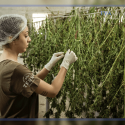 Exploring Cannabis-Based Medicines and Tools (mCannabis) Program for Albertans   EVAMAX Group