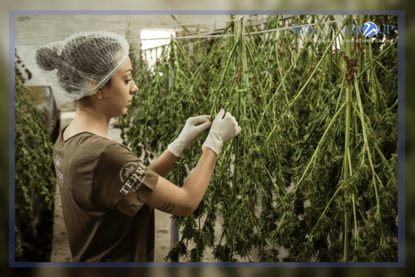Exploring Cannabis-Based Medicines and Tools (mCannabis) Program for Albertans | EVAMAX Group